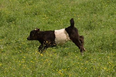 Belted Cow, Camden, Maine