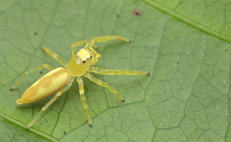 Sexually dimorphic jumping spider pair -  Female