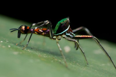 Wasp-mimicking jumping spider (Orsima ichneumon)
