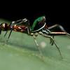 Wasp-mimicking jumping spider (Orsima ichneumon)