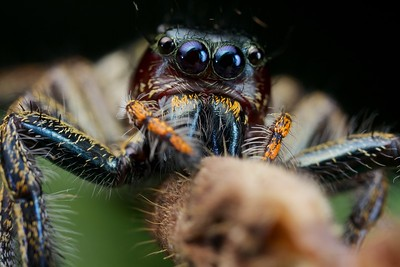 Jumping spider (Hyllus sp.) with prey