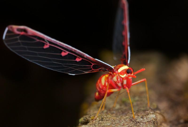 Male fancy derbid hopper (Derbidae)