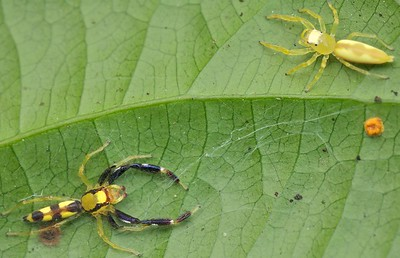 Sexually dimorphic jumping spider pair