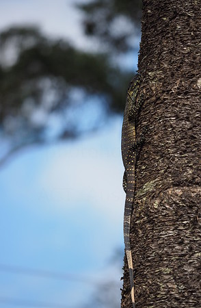 Hanna Goanna - hiding on hoop pine