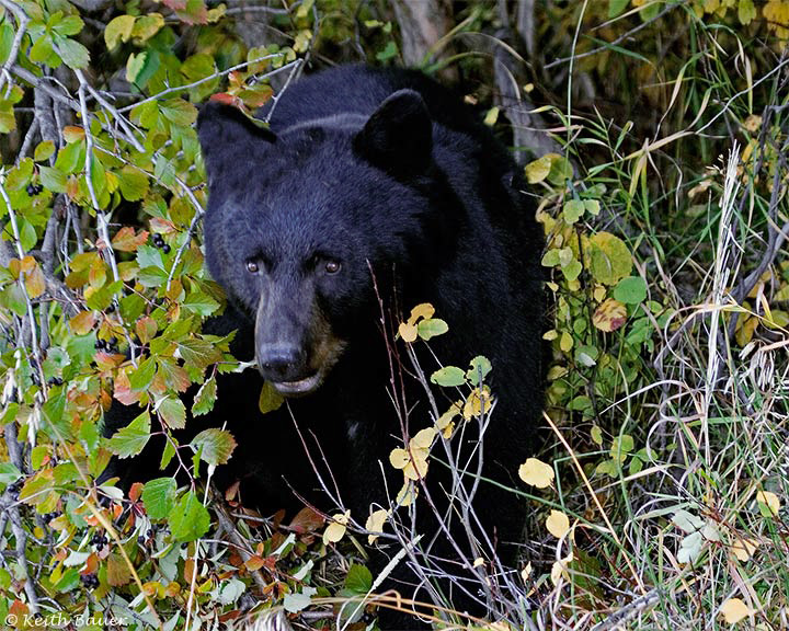 Black Bear Mom - Grand Tetons National Park
