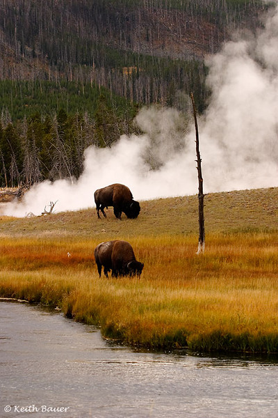 Bison along the Firehole - Yellowstone