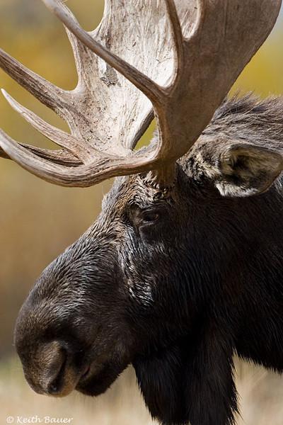 Bull Moose - Grand Tetons National Park