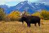 Bull Moose - Grand Tetons