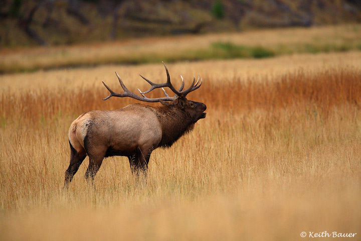 Bull Elk - Yellowstone