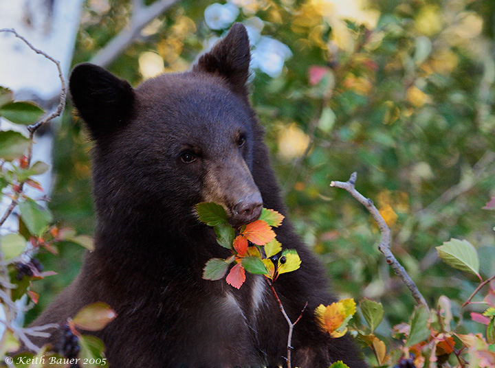 Black Bear Cub- Grand Tetons National Park