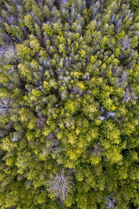 Grove of Pines Aerial