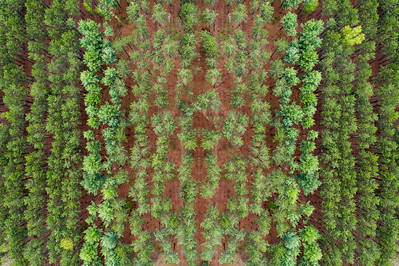 Michigan Pine Rows Aerial