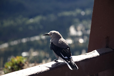 Clark's Nutcracker  A type of bird I've never seen before. They apparently nest in the mountains of Manning Park; there were several hanging out at the viewpoint parking area.