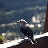 Clark's Nutcracker<br /> <br /> A type of bird I've never seen before. They apparently nest in the mountains of Manning Park; there were several hanging out at the viewpoint parking area.