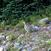 Grouse<br /> <br /> A grouse I startled while walking around the Alpine Meadows.