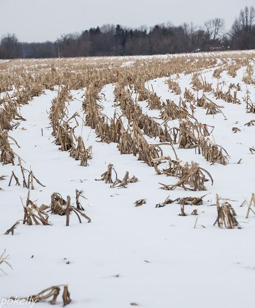 corn rows 013114.jpg