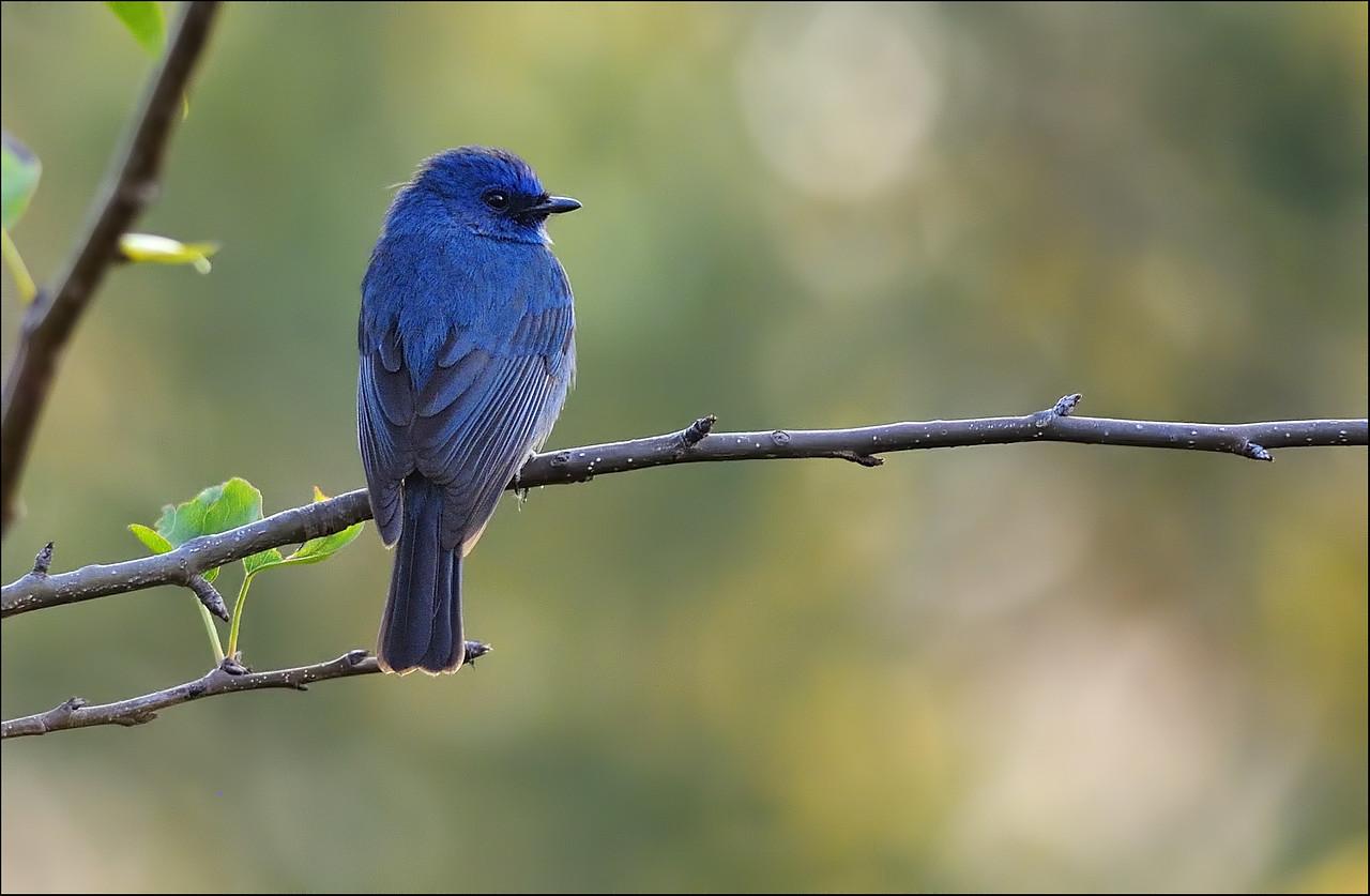 Demure and beautiful.....Nilgiri Flycatcher