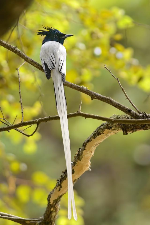 Asian Paradise Flycatcher ( male )