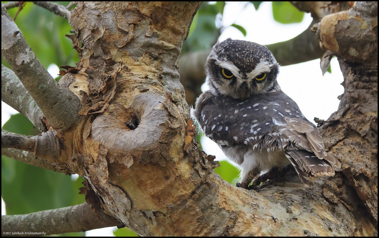 Howdy....!...says the Spotted Owlet......