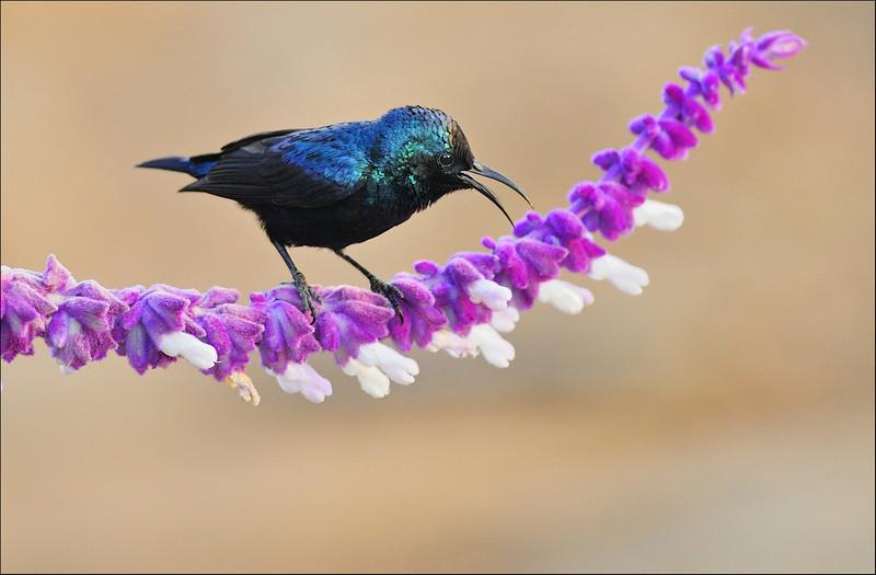 Another ramp walker.....Purple Sunbird...