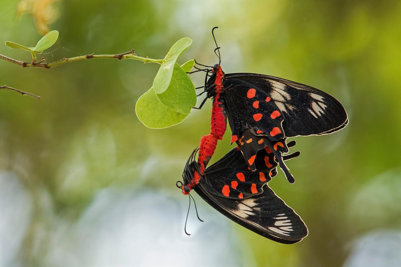 Crimson Rose butterflies - a mating pair