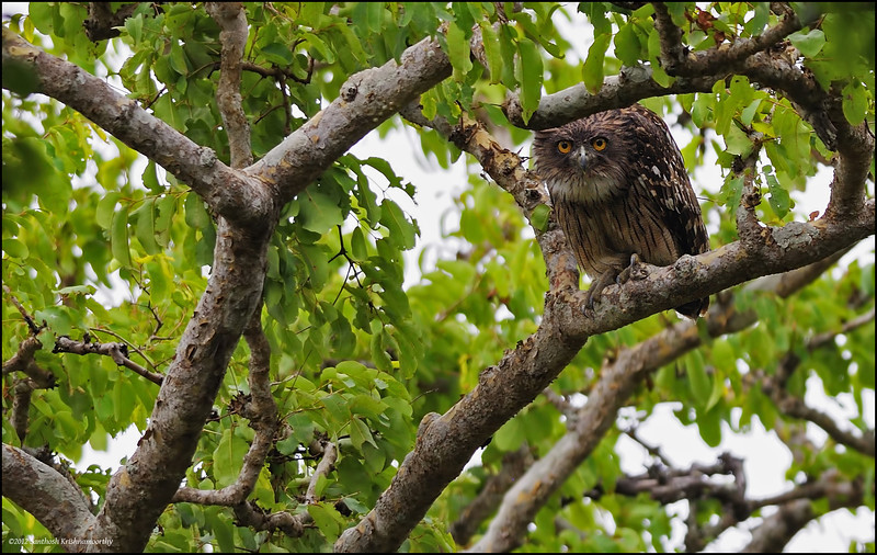 Brown Fish Owl.........., Am fascinated by Owls...,they seem to have an uncanny ability to interact with the observer....., with the constant up and down movements of their head and persistent eye to eye contact with the person.............