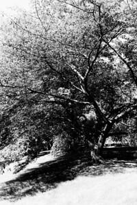 20120901. Arnold Arboretum, Boston MA.  Tree near Forest Hills Gate.