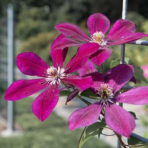 20120901. Arnold Arboretum, Boston MA.  In Leventritt Shrub and Vine Garden.