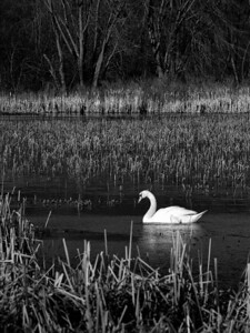 12 February 2012.  Mute Swan at Great Meadows NWR. Photo taken with Nikon D90 and Nikkor 85 mm lens.  Photo processed with Adobe Photoshop CS5 and Nik Silver Efex Pro 2.