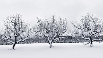 20150124.   Apple Orchard in winter, on Oak Hill Road, Harvard MA.