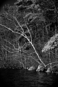 20120318.  Birch Tree on shore of Whitehall Reservoir, Hopkinton MA.