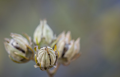 Rose of Sharon Buds