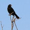 A Brewer's Blackbird is perched high atop some branches.