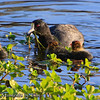 Young Coots: The hen American Coot (Fulica Aremicana) feeds her young greens gathered from the shallows of the San Diego River at Mast Park in Santee, California.