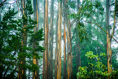 Maui, HI, eucalyptus tree