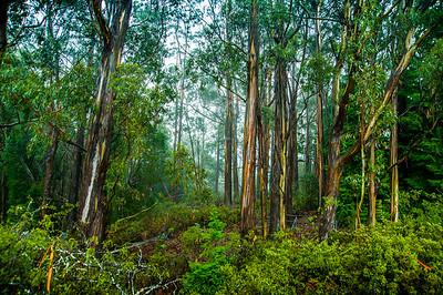 Maui HI, eucalyptus tree