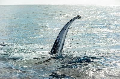 Maui, HI, Humpback Whale