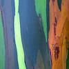 Rainbow Eucalyptus III<br /> (Stitched Panorama)