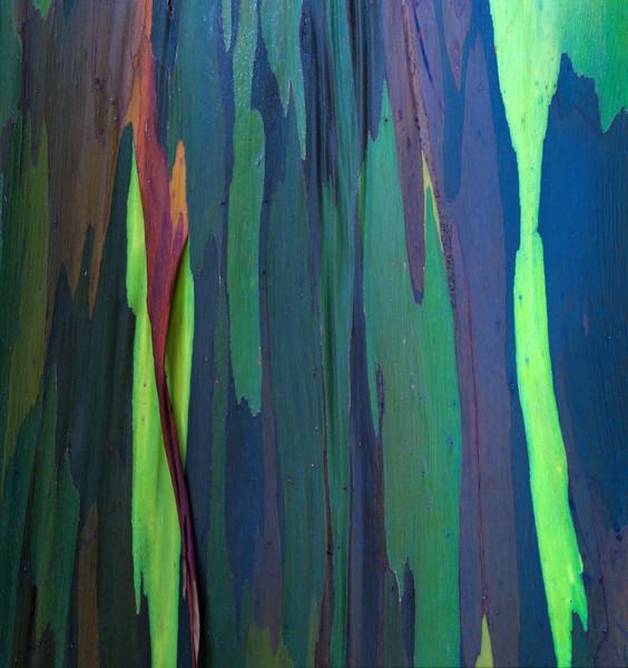 Rainbow Eucalyptus I<br /> (Stitched Panorama)