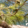 Pine Needels on the Rock Promenade of Cavtat