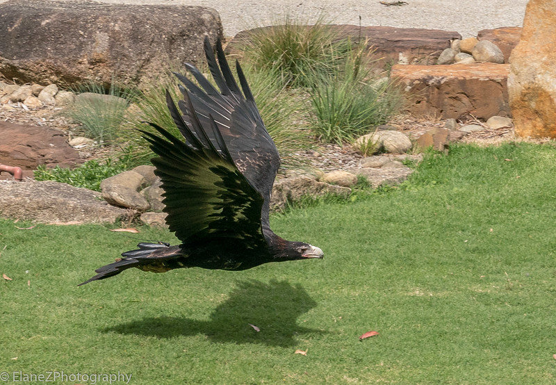 Wedge-tailed eagle - March 2018
