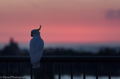 Melbourne sunsets - some with a visiting sulphur-crested cockatoo
