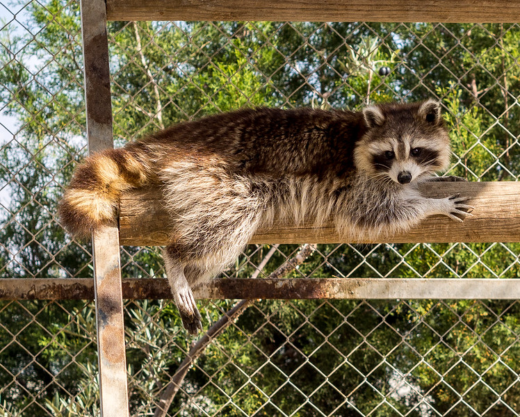 Racoon in Melios Zoo