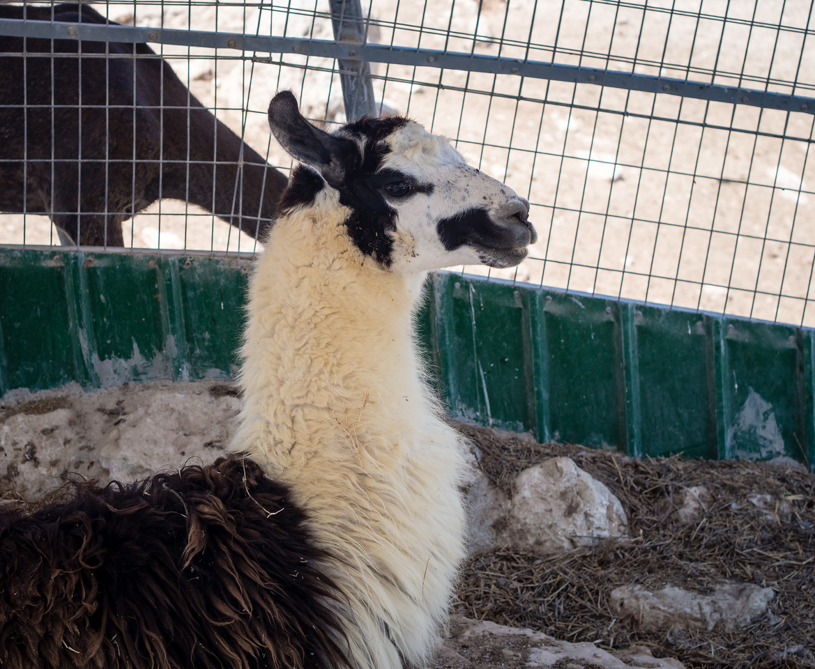 Llama in Melios Zoo
