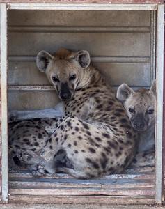 Hyenas in Melios Zoo
