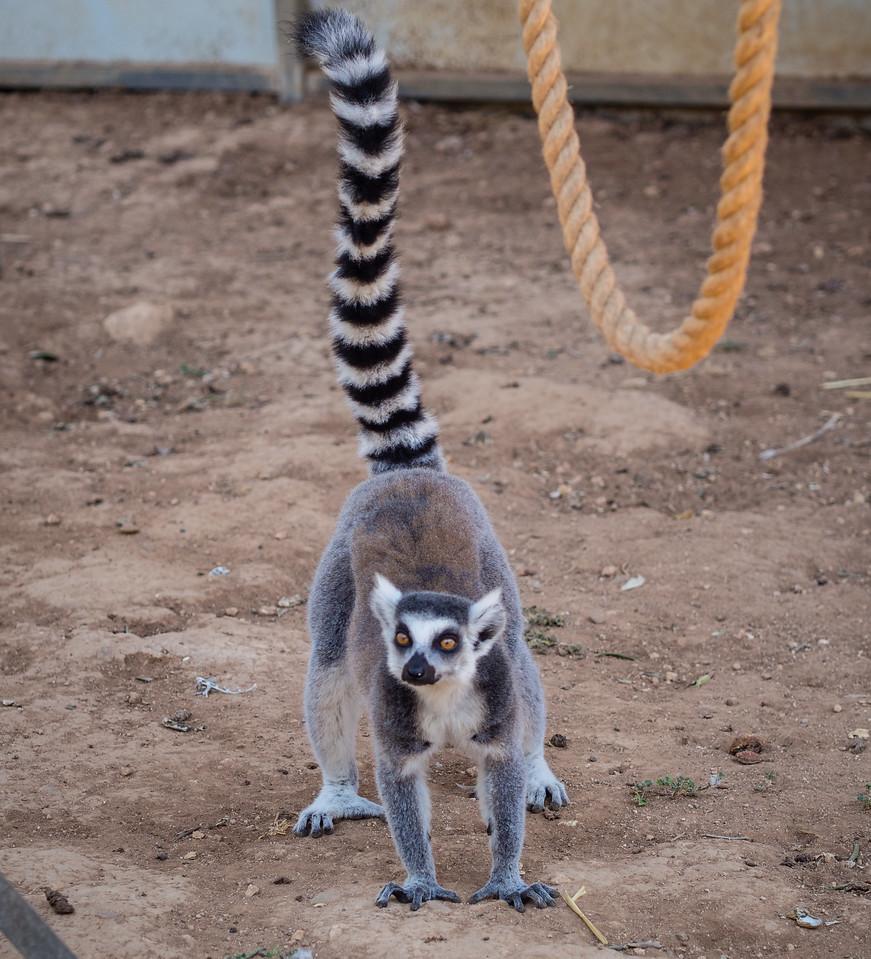 Lemur in Melios Zoo