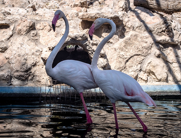 Flamingos in Melios Zoo