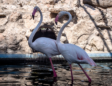 Flamingos in Melios Zoo