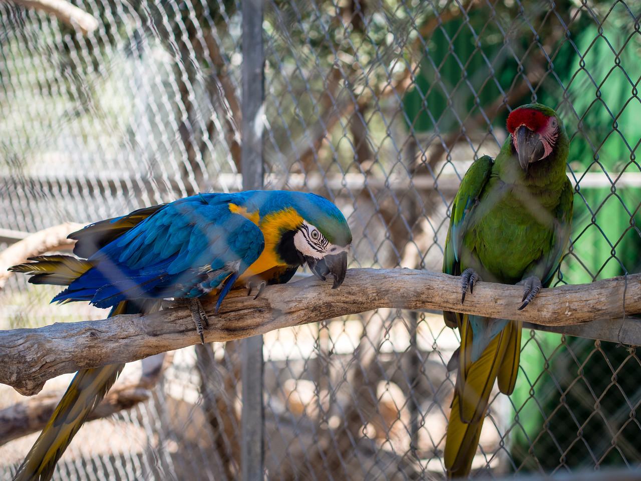 Two Ara parrots in Melios Zoo