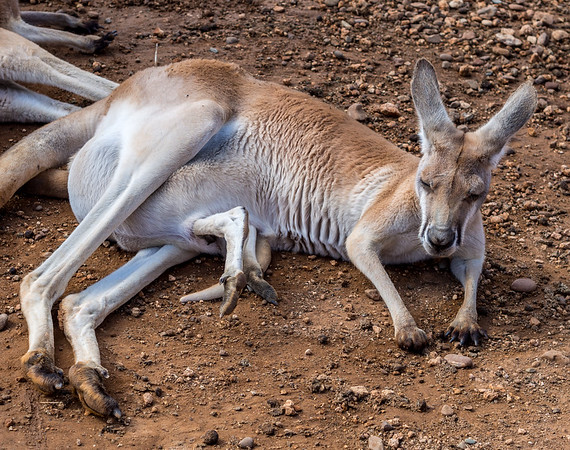 Baby kangaroo in her mothers pouch in Melios Zoo